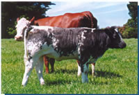 Belgian Blue Cow and Calf